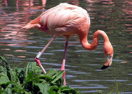 Розовый фламинго появился на Атанасовском озере около Бургаса