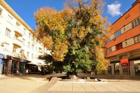 Вяз из Сливена оказался победителем конкурса «Дерево с корнем - 2013»